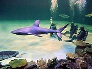 Dec 04, · Shark Reef is located at Mandalay Bay. They have a good staff. The aquarium lets you (not me) dive with the sharks, I will feed the stingrays and turtles.4/4(K).