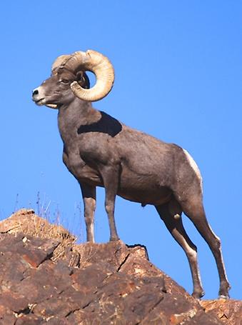 Hoover Dam VIP Tour - Bighorn Sheep