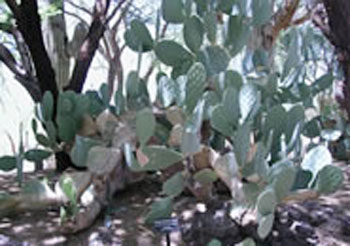 Texas Prickly Pear at Botanical Cactus Gardens